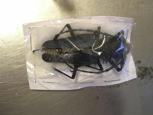 scarafaggi  e droga a Schiphol