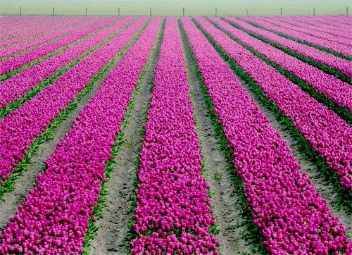 Olanda, i tulipani in primavera