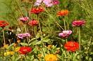 fiori di montagna...domestici